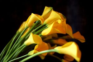 calla lilies wallpaper yellow