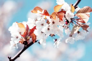 cheery flowers spring
