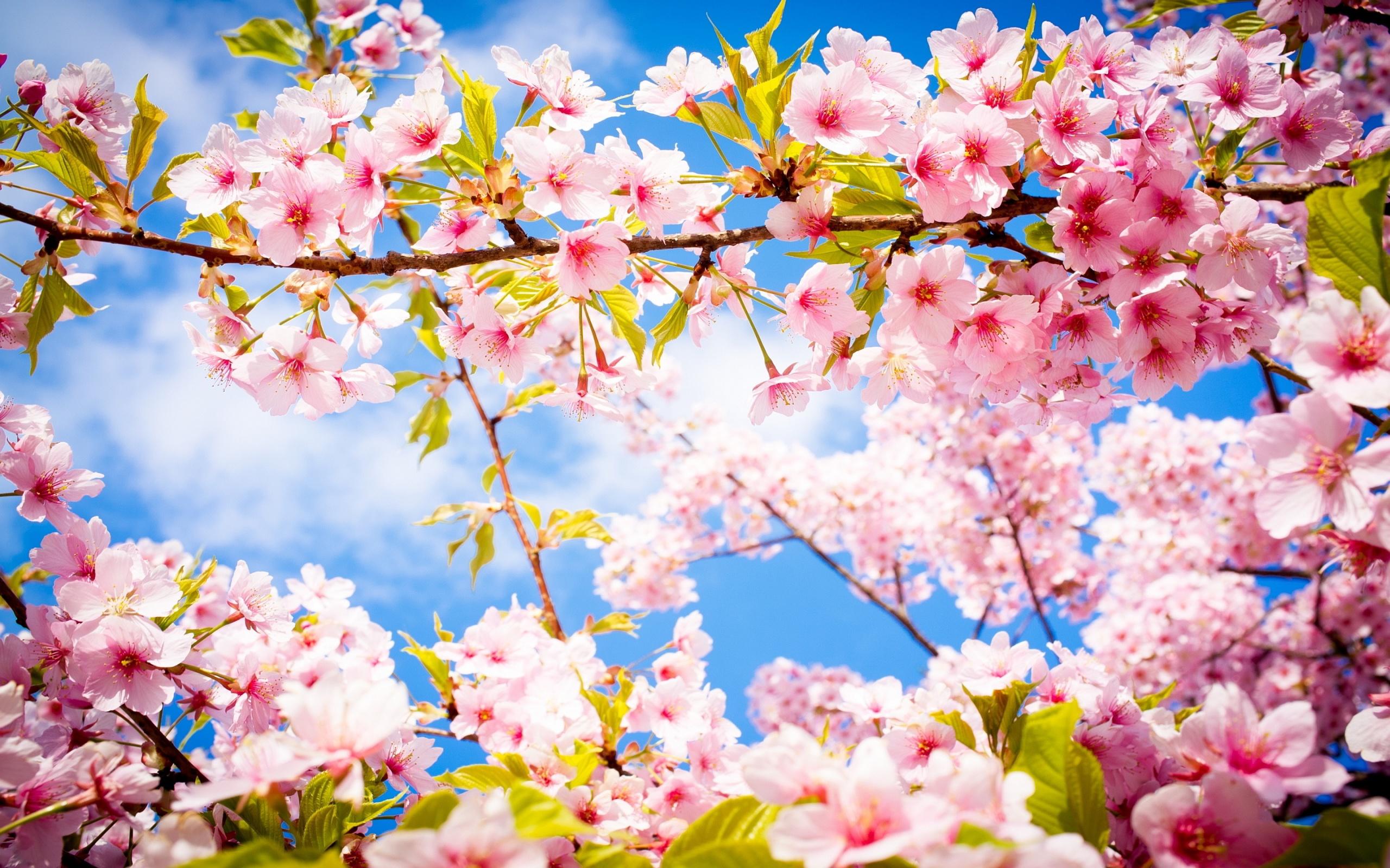 Cherry Blossom Hd Hd Desktop Wallpapers 4k Hd
