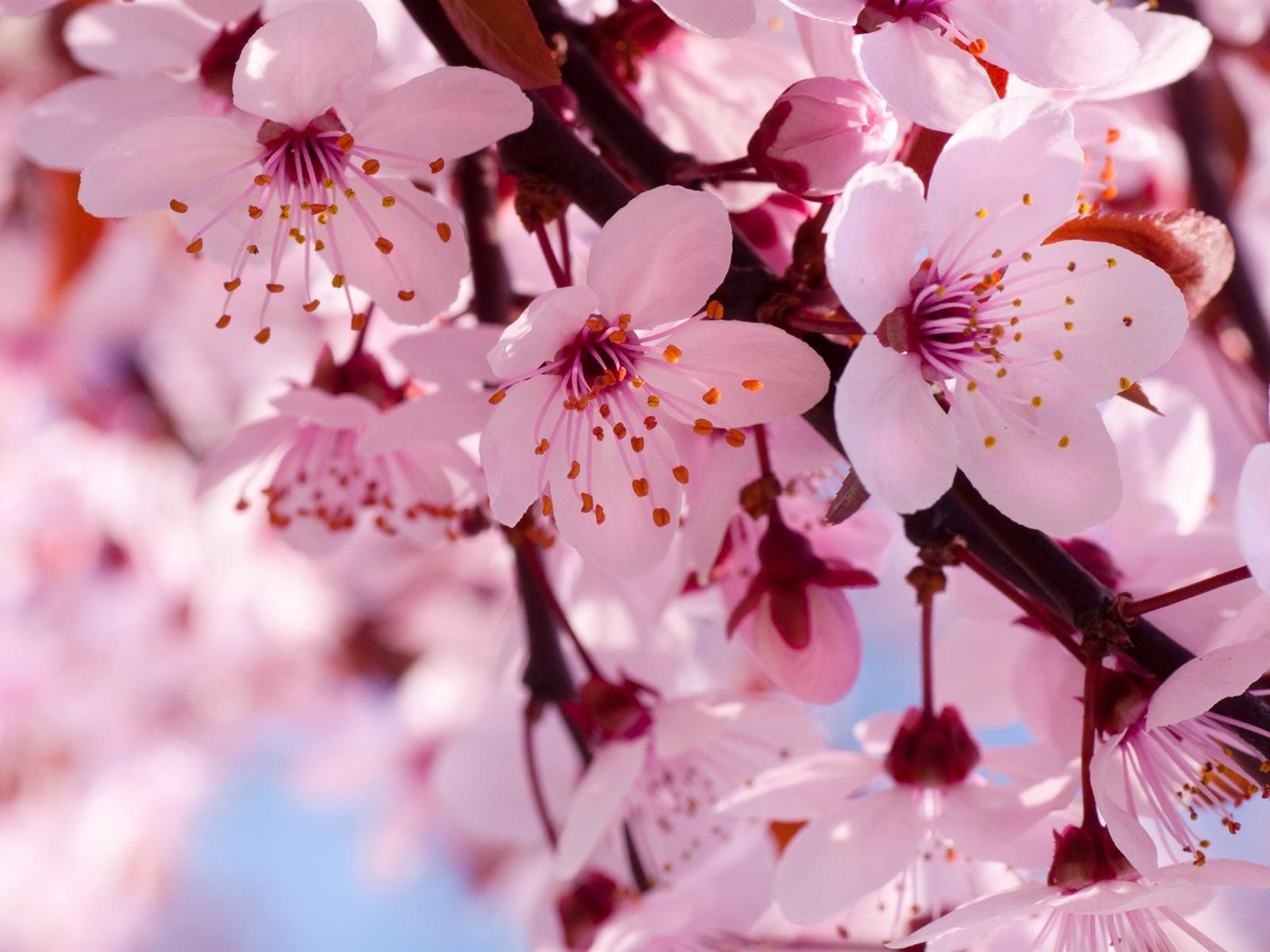 cherry blossom picture