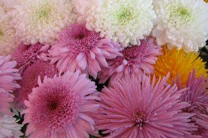 chrysanthemums lovely