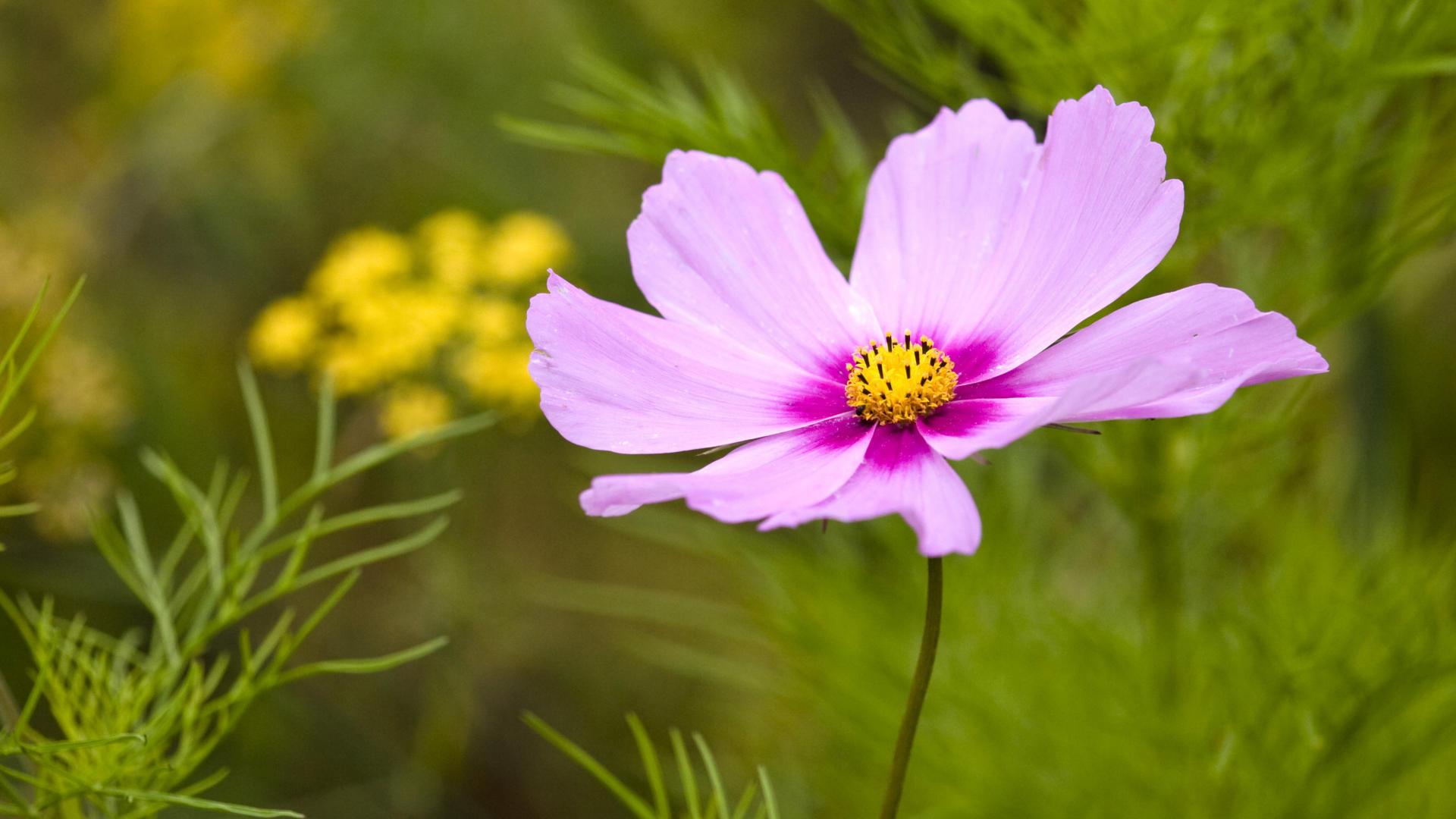 cosmos flower - HD Desktop Wallpapers | 4k HD