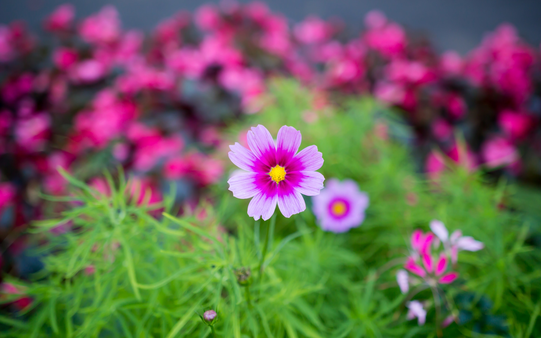 cosmos flowers A4 - HD Desktop Wallpapers   4k HD