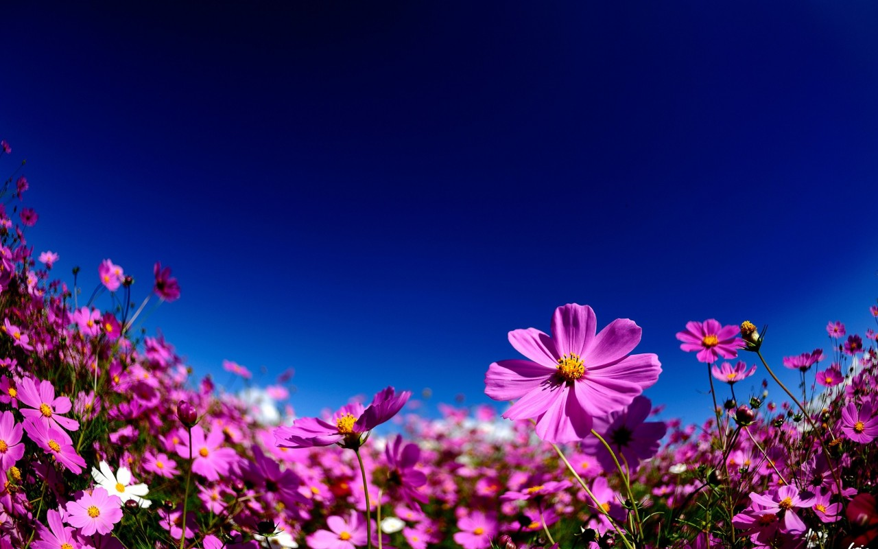 cosmos flowers A6