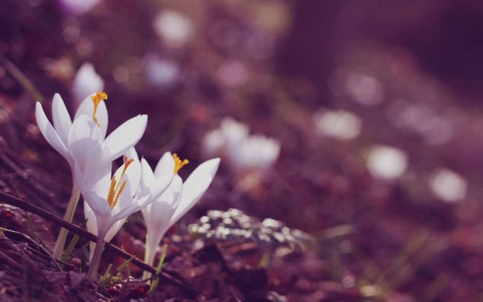 crocuses flowers white A2