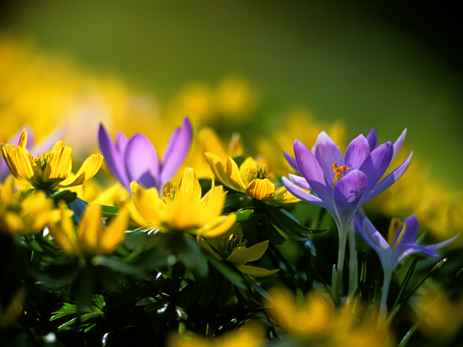 crocuses wallpaper 1080p
