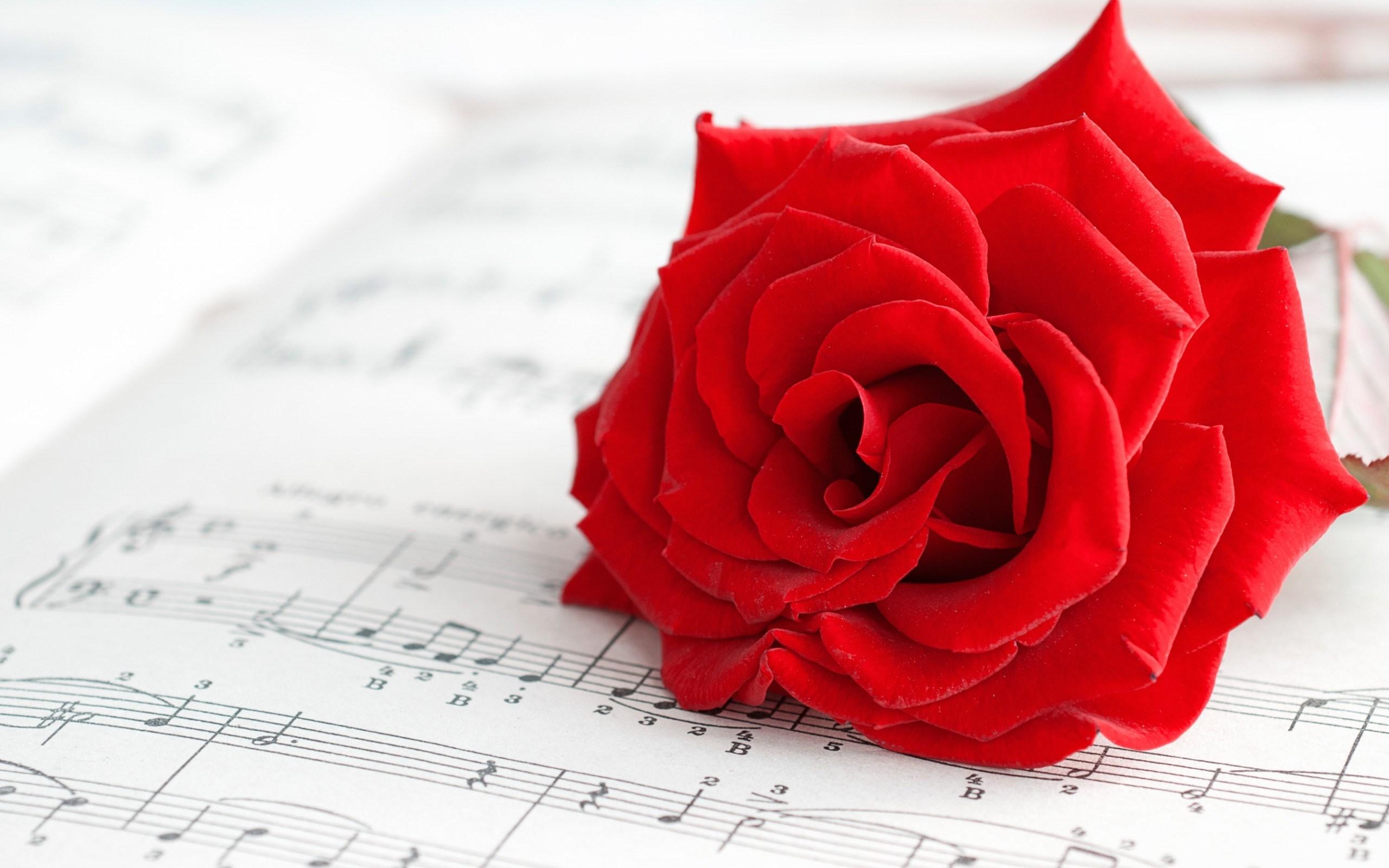 cute red roses wallpaper