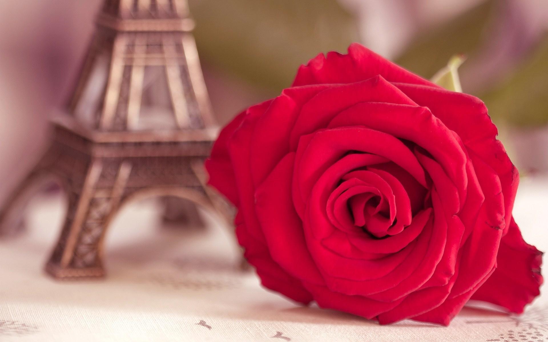 cute roses wallpaper hd desktop wallpapers 4k hd