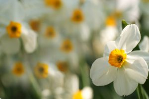 daffodils flower pictures