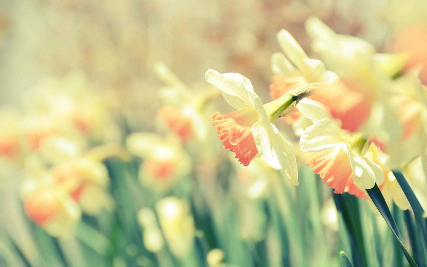 Daffodils Narcissus Flowers Hd Desktop Wallpapers 4k Hd
