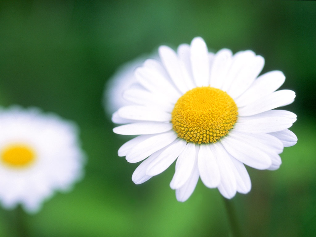 Daisy (Chrysanthemum leucanthemum) - 03 - Wild Flowers of
