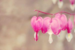 dicentra bleeding heart