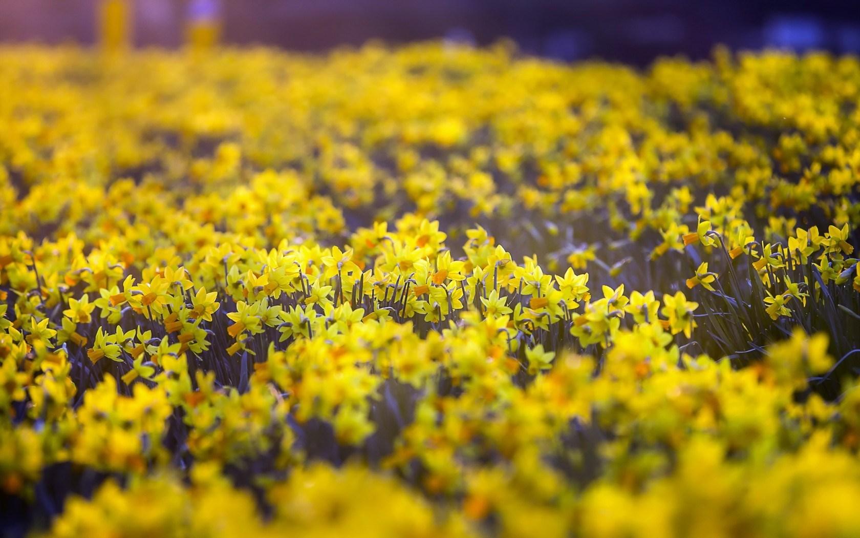flower daffodil
