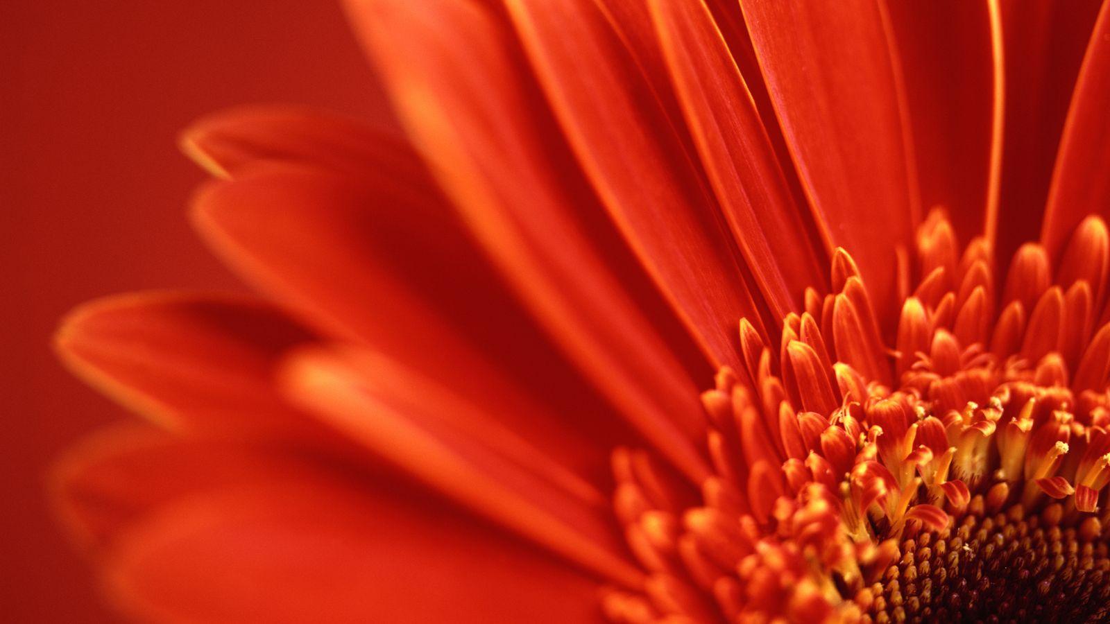 flower wallpaper red