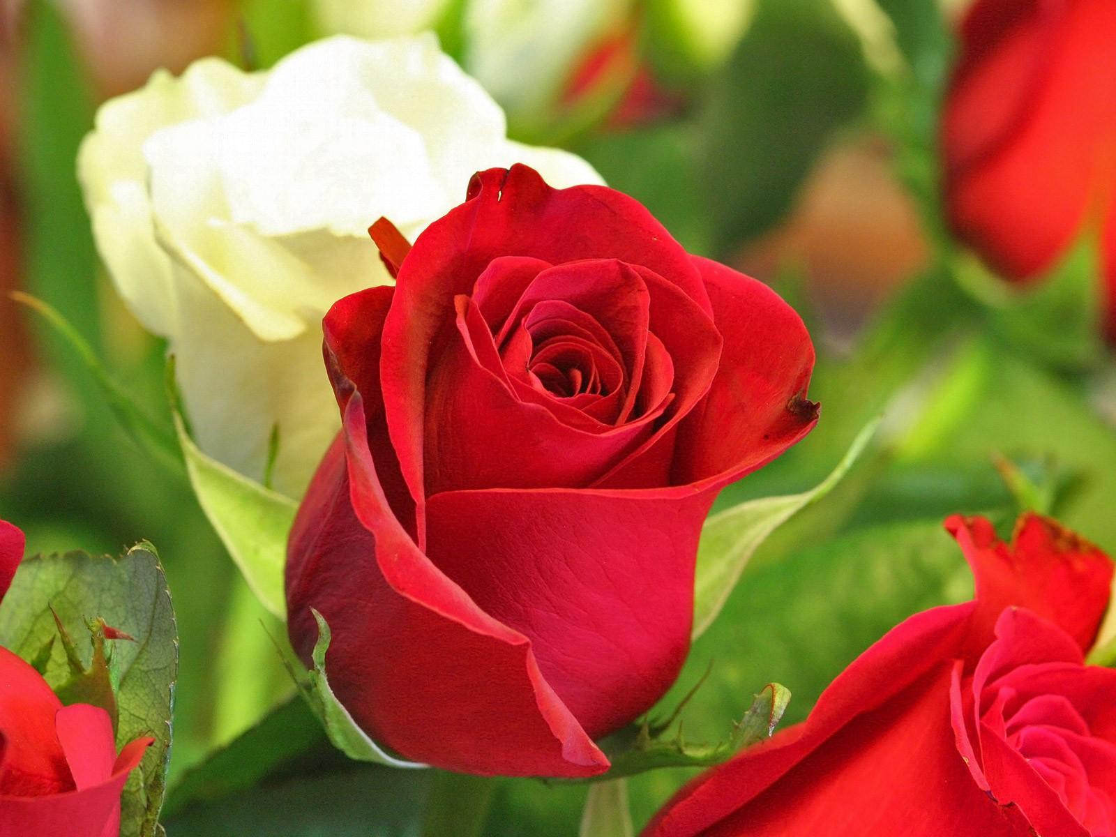 flowers wallpaper red