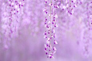 flowers wisteria purple nature