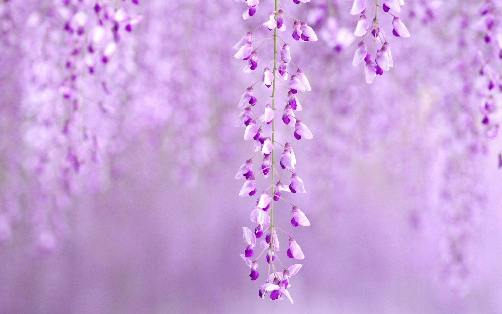 Flowers Wisteria Purple Nature Hd Desktop Wallpapers 4k Hd