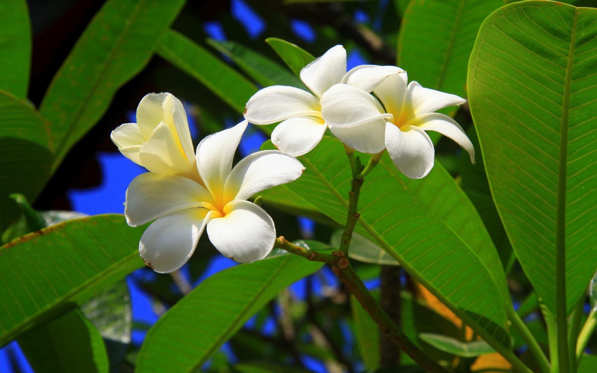 free tropical flowers wallpaper
