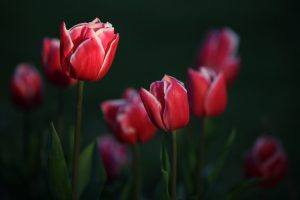 garden flowers tulips photo