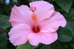 hibiscus A5