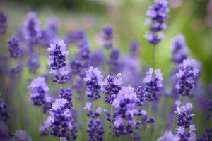 lavender floral wallpaper