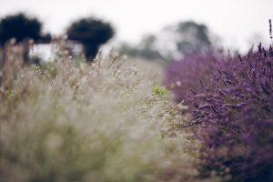 lavender rose wallpaper
