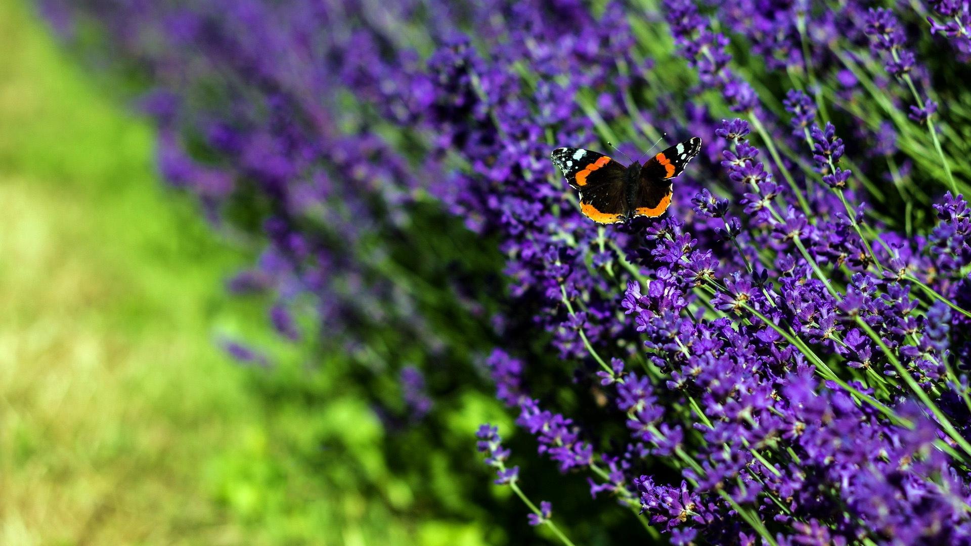 lavender wallpaper 1080p