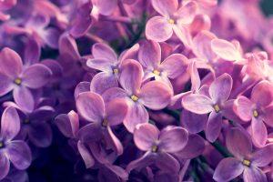 lilac A5
