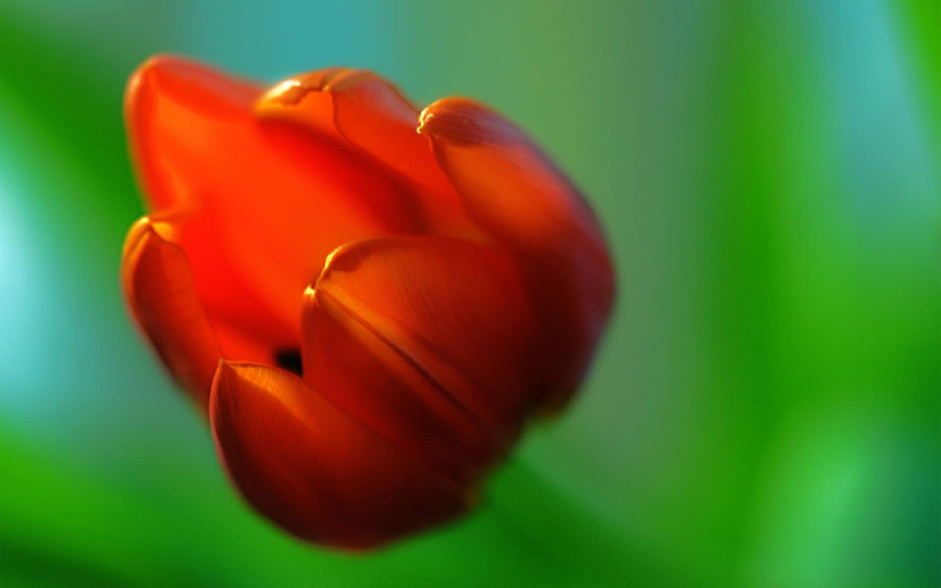macro wallpaper red