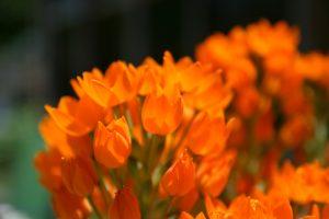 orange flowers A2