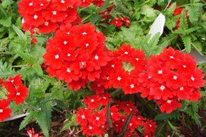 perennial flowers A3