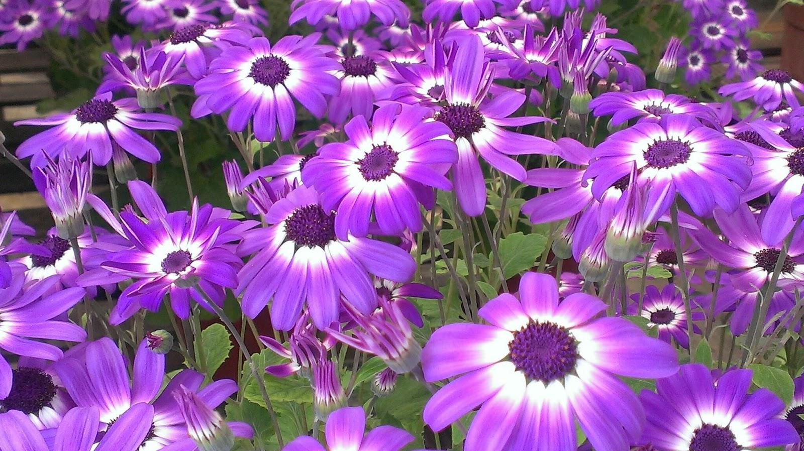 perennial flowers Cool HD Desktop Wallpapers