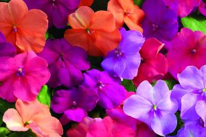 perennial flowers colors