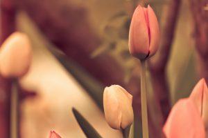 photo flowers tulips