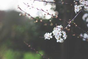 photo spring cherry flowers nature