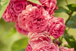 photos of red roses