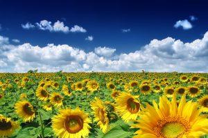 photos of sunflower