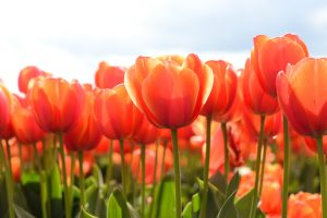 picture of a tulip flower