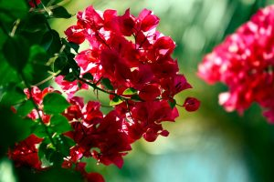 picture of bougainvillea flower