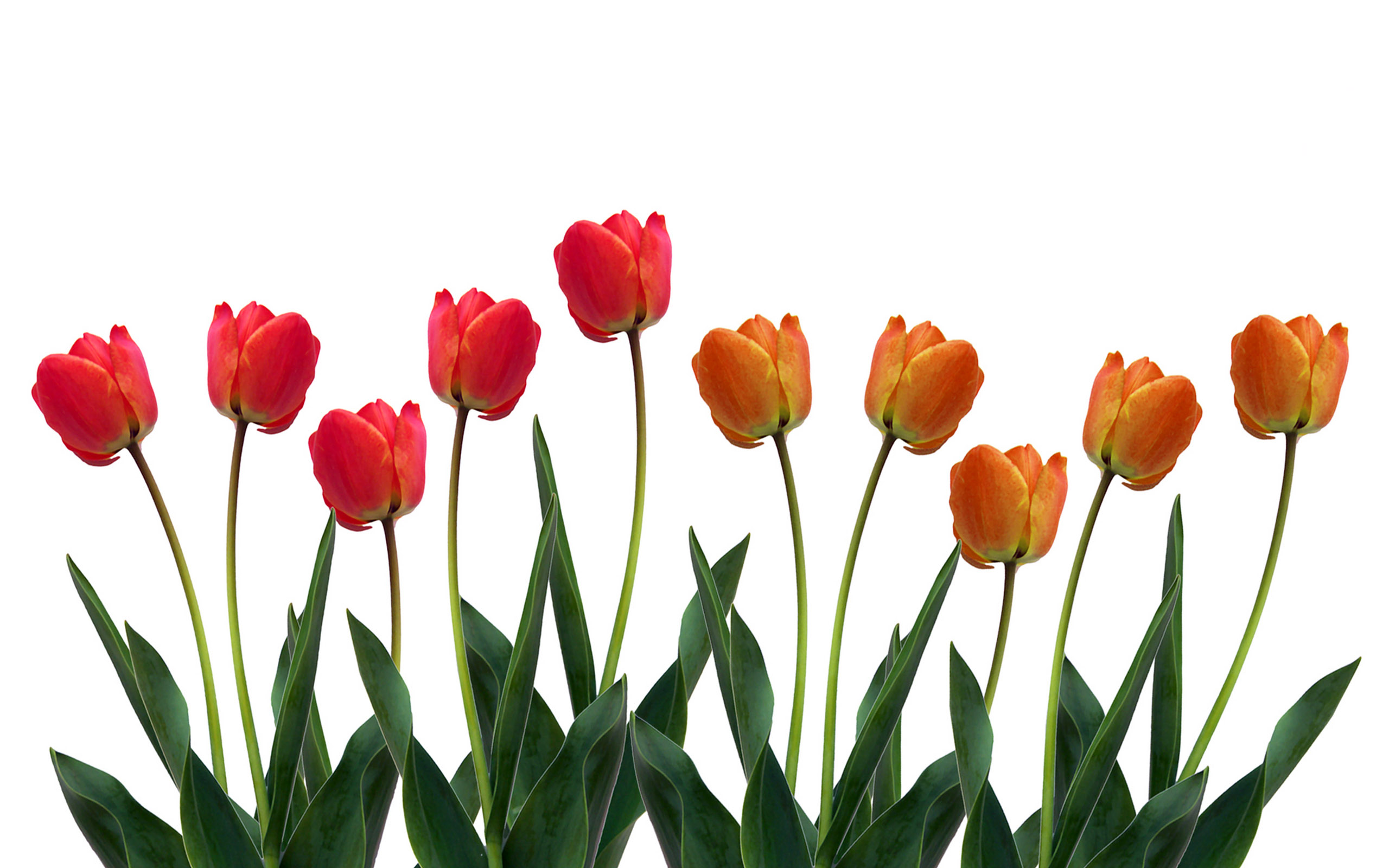 Picture Of Tulip Hd Desktop Wallpapers 4k Hd
