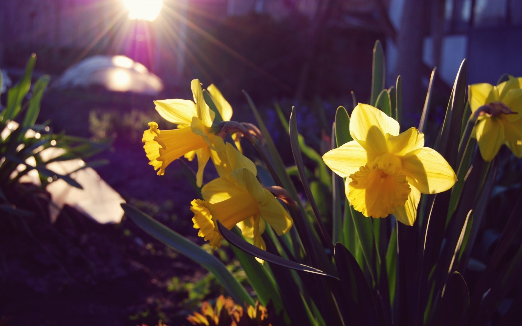 pictures of daffodils flowers