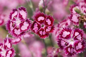 dianthus flowers