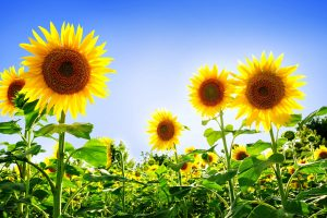 pictures of sunflowers