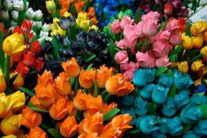 pictures of tulips flowers