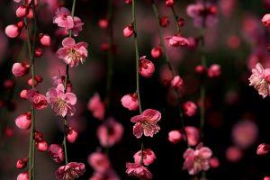 pink cherry blossom wallpaper