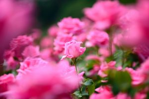 pink flower pictures free