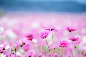 pink flower wallpapers A1