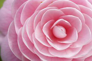 pink macro photography