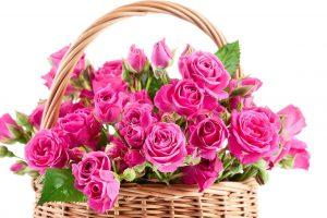pink rose flower wallpaper  hd