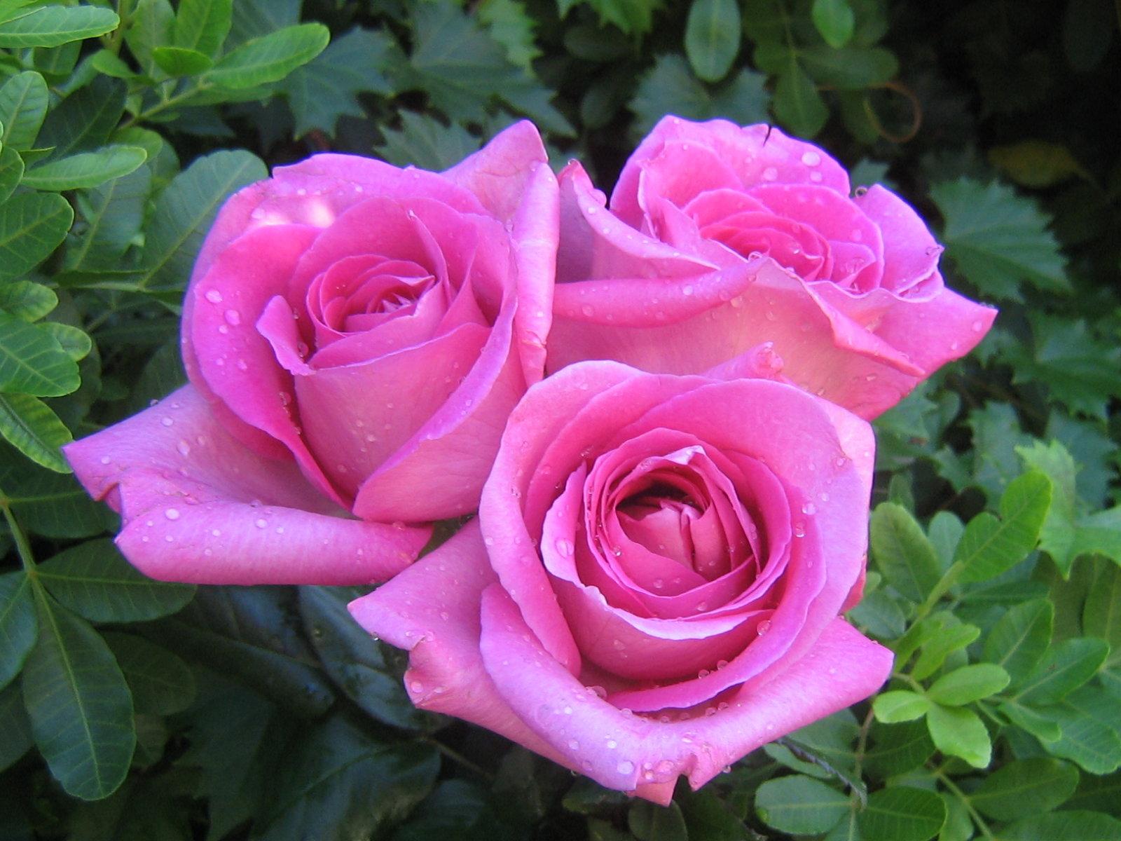 pink rose wallpaper 1080p
